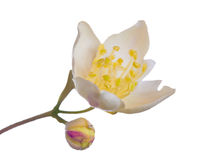 Semi-open jasmin flower on white Royalty Free Stock Images