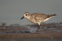 Semi-palmated Sandpiper Royalty Free Stock Photo