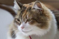 Semi- profil tricolor kot gapi się na lewo od wizerunku obrazy stock
