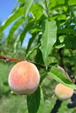 Semi-ripe yellow peaches on the tree in an orchard Stock Photo