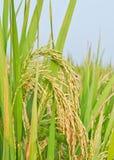 Semi ripen paddy kernels Royalty Free Stock Image