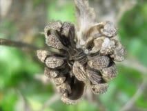 Semi secchi della calendula sulla pianta immagini stock