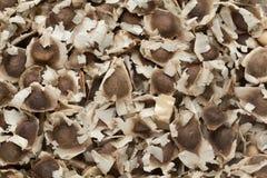 Semi secchi organici di Moringa (moringa oleifera) Immagini Stock Libere da Diritti