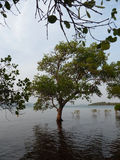 Semi-Submerged Coastal Tree Near Vietnam. A lone tree is semi-submerged during high tide on the shore of a small island along the Cambodia-Vietnam border Stock Image