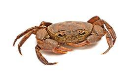 Semi-terrestrial freshwater crab stock images