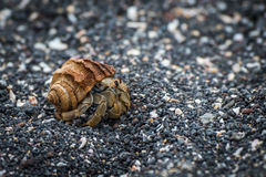 Semi-terrestrial hermit crab walking along shingle beach Stock Photography