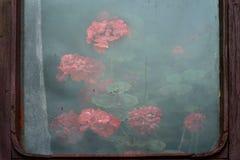 Semi-transparent misted glas in een oud gebarsten houten kader: achter het glas zijn overvloedige geraniumstruiken, weelderig gro Stock Foto