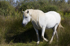 Semi-wild Camargue horse. Walking horse in Camargue National Park stock photo