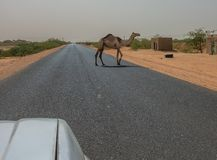 Semi-wild camel running across an asphalted road. Sudan royalty free stock photos