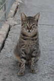 Semi-wild cat. Sits on the road. The cat has a label in the form of cutting the right tip of the right ear, indicating the patronage of municipal authority over Stock Images
