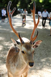Semi-wild deer. In the parks and temples of Nara, Japan Royalty Free Stock Photo