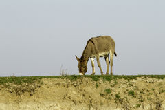 Semi-wild donkey eating grass Royalty Free Stock Image