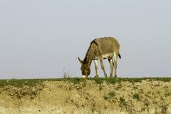 Semi-wild donkey eating grass Royalty Free Stock Image