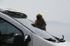 The semi-wild Macaques, Gibraltar, Europe. The semi-wild Barbary Macaques, Gibraltar, Europe stock photography