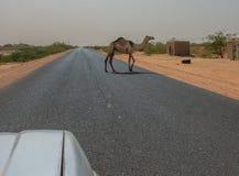 Semi-wilde kameel die over een geasfalteerde weg lopen royalty-vrije stock foto's