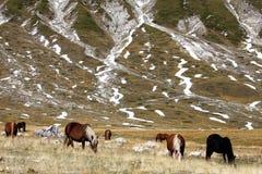 Semi-wilde paarden in het Park van Gran Sasso, Italië stock foto's