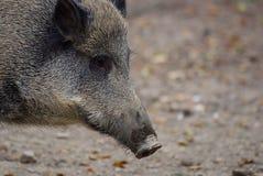 Semiadult boar (sus scrofa) Royalty Free Stock Images