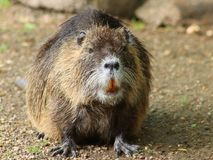 Portrait of a large coypu, also known as the nutria. stock images