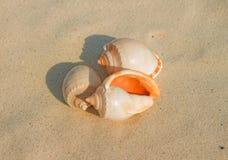 Semicassis granulata Seashell Fotografia Royalty Free