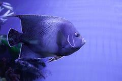 Semicircle angelfish κινηματογράφηση σε πρώτο πλάνο Στοκ Φωτογραφίες
