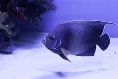 Semicircle angelfish στο κατώτατο σημείο Στοκ φωτογραφία με δικαίωμα ελεύθερης χρήσης