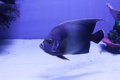 Semicircle angelfish στο κατώτατο σημείο Στοκ Φωτογραφίες