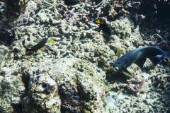 Semicircle angelfish Royalty Free Stock Image