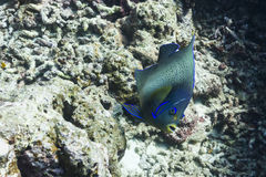 Semicircle angelfish royalty free stock photography