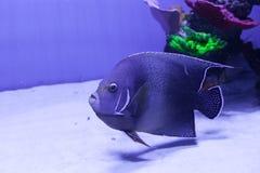 Semicircle angelfish in aquarium. Pomacanthus semicirculatus closeup royalty free stock photos