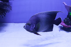 Semicircle angelfish on the bottom Stock Photos