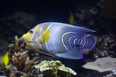 Semicircle angelfish (Pomacanthus semicirculatus). Also known as the Koran angelfish royalty free stock photos
