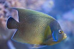Semicircle angelfish Pomacanthus semicirculatus. Also known as the Koran angelfish stock photo
