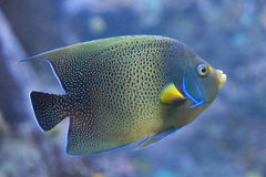 Semicircle angelfish Pomacanthus semicirculatus. Also known as the Koran angelfish royalty free stock photo