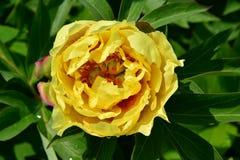 Semidouble yellow Itoh hybrid peony Edwards Gardens Royalty Free Stock Photography
