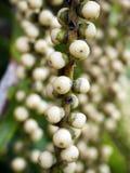 Semilla blanca hermosa de la palma Imagen de archivo libre de regalías