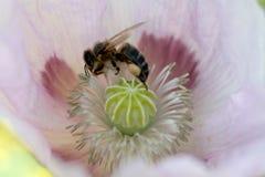 Semilla de amapola rosada con la abeja Imágenes de archivo libres de regalías