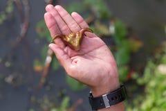 Semilla de la castaña del agua dulce Foto de archivo