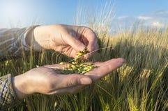 Semilla de la cebada en la mano femenina, plantas de examen del granjero, concepto agrícola imagen de archivo libre de regalías