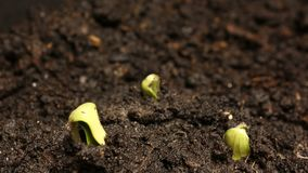 Semilla de la germinación que crece en el verano de tierra Timelapse de la primavera de la agricultura almacen de metraje de vídeo