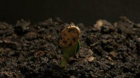 Semilla de la germinación que crece en el verano de tierra Timelapse de la primavera de la agricultura metrajes