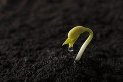 Semilla de la haba verde que crece hacia fuera de suelo Imagen de archivo libre de regalías
