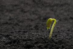 Semilla de la haba verde que crece hacia fuera de suelo mientras que llueve Foto de archivo