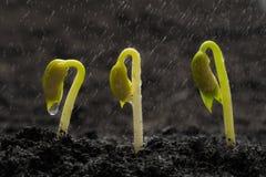 Semilla de la haba verde que crece hacia fuera de suelo mientras que llueve imagen de archivo