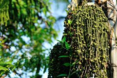 Semilla de la palmera Foto de archivo libre de regalías