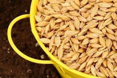 Semilla de la siembra del trigo Foto de archivo libre de regalías