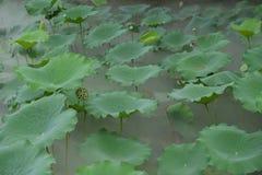 Semilla de Lotus con la hoja flotante imagen de archivo libre de regalías