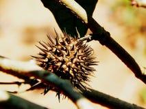 Semilla de Moonflower de la datura Imagenes de archivo
