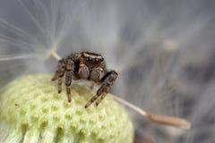 Semilla de salto de la araña y del diente de león fotografía de archivo