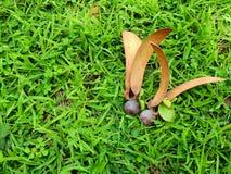 Semilla del alatus de Dipterocarpus imagen de archivo