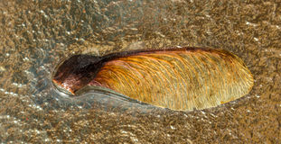 Semilla del arce de Manitoba Imágenes de archivo libres de regalías